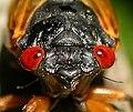 HeadCicadidae.jpg