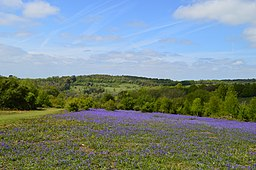 Headley Heath, Bluebells