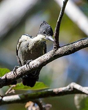 Heart-spotted woodpecker - Male