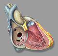 Heart right asd.jpg