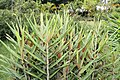 Hedychium coccineum 0zz.jpg