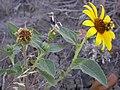 Helianthus annuus (4010961445).jpg