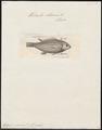 Heliastes chromis - 1788 - Print - Iconographia Zoologica - Special Collections University of Amsterdam - UBA01 IZ13900315.tif