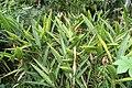 Heliconia psittacorum 35zz.jpg