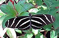Heliconius charitonius (zebra longwing butterfly) (Florida, USA) 1 (17072643770).jpg
