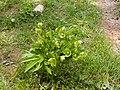 Helleborus cyclophyllus.jpg