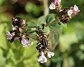 Helophilus hybridus on Wild marjoram (9301410824).jpg