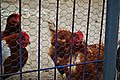 Hen caged in Almadrones.jpg
