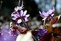 Hepatica nobilis 0584.jpg