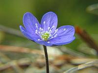 Hepatica noblis 20060501 002.jpg