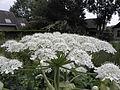 Heracleum mantegazzianum R.H. 06.jpg