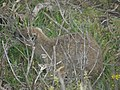 "Hermanus - Rock Hyrax or ""Dassie"" - panoramio (5).jpg"