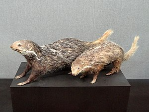 Crab-eating mongoose - Taxidermy exhibit in the Kunming Natural History Museum of Zoology, Kunming, Yunnan, China