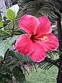 Hibiscus ß.jpg