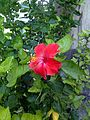 Hibiscus rosa-sinensis (Jaswand) flower 02.jpg