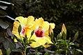 Hibiscus rosa-sinensis Jason 4zz.jpg