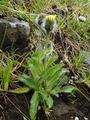 Hieracium trigonophorum Oskarsson.png