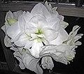 Hippeastrum sp. (amaryllis) 1 (32669911736).jpg