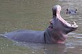 Hippo opening.jpg