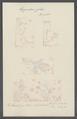 Hippopodius gleba - - Print - Iconographia Zoologica - Special Collections University of Amsterdam - UBAINV0274 110 13 0018.tif