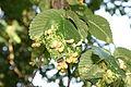 Hluboké Dvory, parazit na listech stromu (6532).jpg