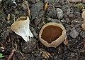 Hochgerippte Becherlorchel Helvella acetabulum.jpg