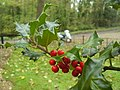 Holly (Ilex aquifolium) - geograph.org.uk - 1576607.jpg