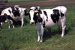 Holstein cows large.jpg