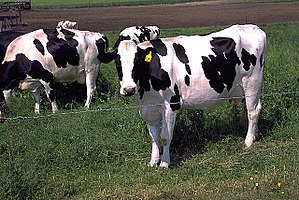 Holstein cattle, the dominant breed in industr...