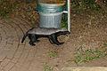 Honey Badger (Mellivora capensis) (17182821509).jpg