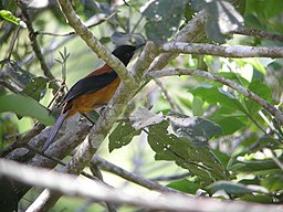 Hooded Pitohui.jpg