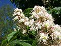 Horse Chestnut blossom.JPG