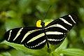 Hortus Botanicus Amsterdam Zebra butterfly (2621348893).jpg