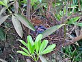 House Crow Corvus splendens by Raju Kasambe DSCN0468 (7) 19.jpg