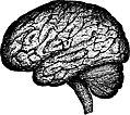 Human-brain-1443446941h0A.jpg