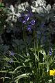 Hyacinthoides hispanica 002 GotBot 2016.jpg