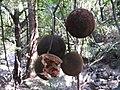 Hydnocarpus alpina-4-mundanthurai-tirunelveli-India.jpg