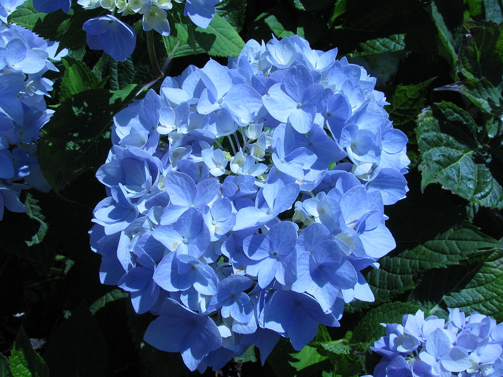 endless growing Hydrangea macrophylla is best grown in rich endless summer (1) within their growing range.