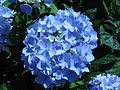 Hydrangea macrophylla 'Endless Summer' in NH 2.jpg