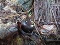 Hymenoscyphus fructigenus 8964949.jpg