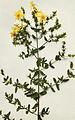 Hypericum perforatum WFNY-131A.jpg