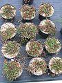 Hypericum reptans - Flickr - peganum.jpg