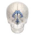Hypothalamic sulcus - 3rd ventricle - 01.png