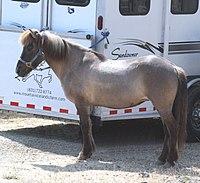 Icelandic horse.jpg