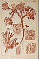 Icones of Japanese algae (9935793515).jpg