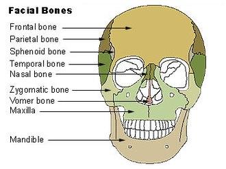Nasal bone - Nasal bone visible at center, in dark green.