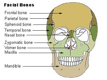 Illu facial bones