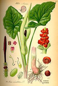 Illustration Arum maculatum0
