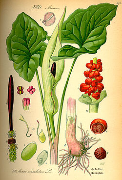 Illustration Arum maculatum0.jpg
