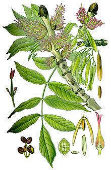 Ясень обыкновенный ботаническая